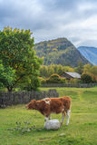 Calf in a mountain village. Altai Mountains  are a mountain range in East-Central Asia, where Russia, China, Mongolia and Kazakhstan come together, and are where Royalty Free Stock Image