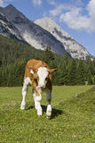 Calf in the mountains Royalty Free Stock Images