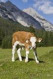 Calf in the mountains Royalty Free Stock Photos