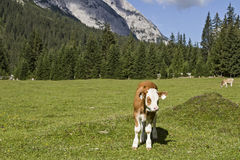 Calf in the mountains Royalty Free Stock Image