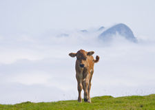 Calf at Natural Park Aiako Harriak. Stock Photography