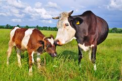 The calf near mother on a summer pasture Royalty Free Stock Photography