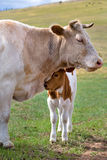 A calf near mother on a summer pasture. View of a calf near mother on a summer pasture Stock Photos