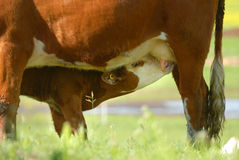Calf Nursing Royalty Free Stock Photo
