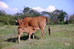 Calf nursing Royalty Free Stock Photos