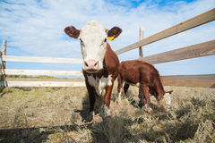 Calf in the paddock Royalty Free Stock Images
