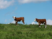 Calf Pair Royalty Free Stock Photo