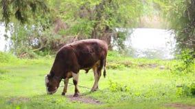 Calf on pasture stock video