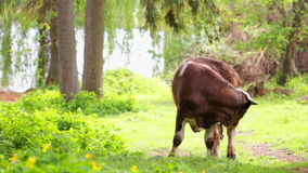 Calf on pasture stock video footage