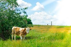 Calf in the pasture. A pet from a home farm. Royalty Free Stock Image