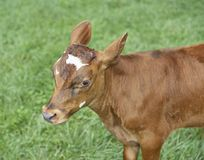Calf in pasture very curious Stock Photography