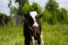 Calf in the pasture stock image