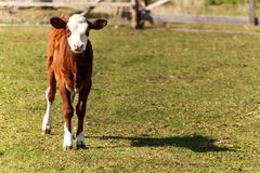 Calf on pasture. Young cow on grazing.  Autumn on the agricultural farm. Cattle breeding. Royalty Free Stock Photography