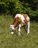Calf on pasture Royalty Free Stock Photos