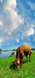 Calf pasturing Royalty Free Stock Photos