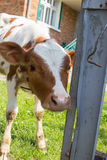 Calf peeks through a fence Royalty Free Stock Images