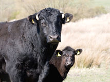 Calf peering around Mom Stock Photography