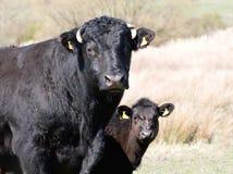 Calf peering around Mom Stock Photography