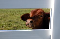 Calf Peering Out Of A Fence. Photographed a young cow peering through a fence Stock Images
