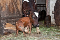 The calf and the pig. The calf and pig in the yard Royalty Free Stock Photos