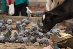 Calf and pigeons Stock Photography