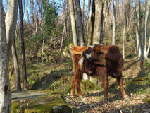 Calf playing with tail in forest glade. Funny calf among trees at sunny forest Stock Image