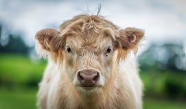 Calf Portrait - shallow depth of field Stock Photos
