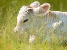 Calf portrait Stock Photography