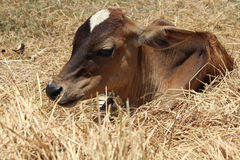 Calf relex beside straw Stock Photography