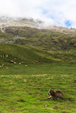 A calf resting. A calf is resting in spanish Pyrenees, with the fog coming at the background Royalty Free Stock Photography