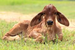 Calf are resting Royalty Free Stock Photos