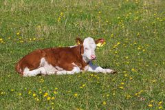 Calf resting on the meadow Stock Photos