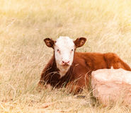 Calf Resting in a Meadow with Sunlight Rural America Stock Photos