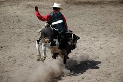 Calf Rider. Young cowboy riding a calf Royalty Free Stock Photo