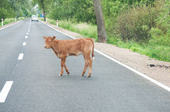 Calf on the road Royalty Free Stock Photos
