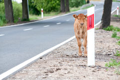 Calf on the road Royalty Free Stock Image