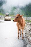 Calf and roller compactor on mountain road Stock Image