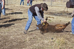 Calf roped and moved to branding area Stock Images