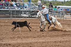 Calf roper. APACHE JUNCTION, AZ - FEBRUARY 27: A cowboy participates in the calf roping competition at the Lost Dutchman Days Rodeo on February 27, 2010 in royalty free stock photography