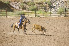 Calf roping Stock Image