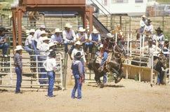 Calf roping Royalty Free Stock Image