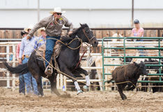 Calf Roping Action Stock Image