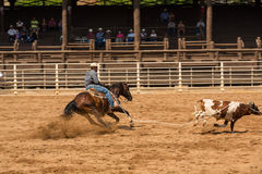 Calf Roping Competition At Rodeo in South Dakota Royalty Free Stock Photo