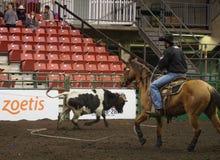 Calf Roping Cowboy On Horseback. Calf roper At Farmfare International Edmonton Alberta November 2014 Stock Images
