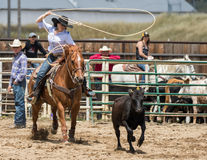 Calf Roping Cowgirl Throws a Loop Royalty Free Stock Image