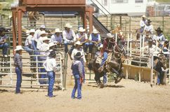 Calf roping, Inter-Tribal Ceremonial Indian Rodeo, Gallup NM Royalty Free Stock Photography