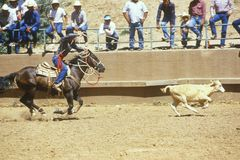 Calf roping, Navajo Rodeo, AZ Stock Photo