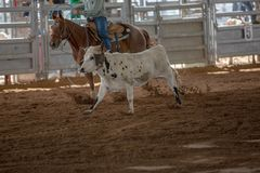 Calf Roping At A Rodeo. Calf roping event at a country rodeo in Australia Stock Photos