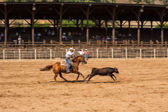 Calf Roping at Rodeo in Deadwood South Dakota. Cowboy roping calf at Deadwood South Dakota Rodeo Royalty Free Stock Photo