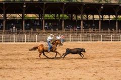 Calf Roping at Rodeo in Deadwood South Dakota Royalty Free Stock Photo
